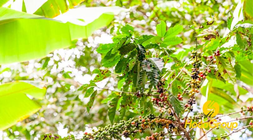 Lợi ích của việc tìm hiểu nguồn gốc cà phê